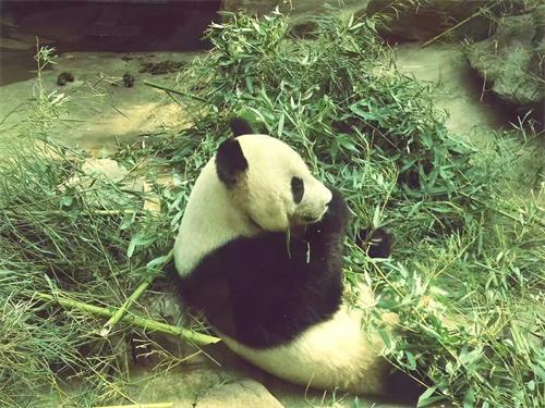 年修建奥运熊猫馆,临时展出八只来自四川卧龙熊猫保护区的 北京动物园